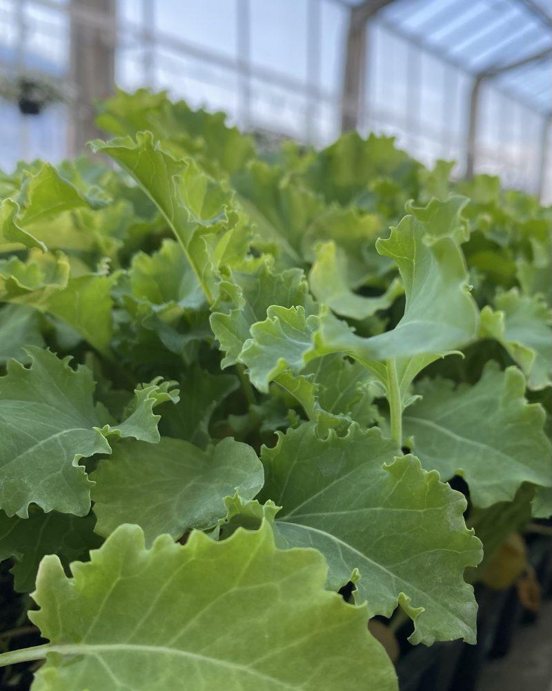 grønnkålplanter